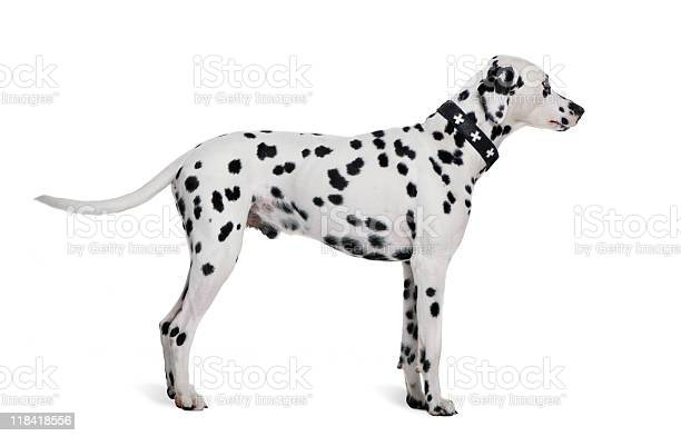Dalmatian 2 years old standing in front of white background picture id118418556?b=1&k=6&m=118418556&s=612x612&h=8rv9gpn6nds ycqp3wmy4viwttaodzgqxo vbxdimes=