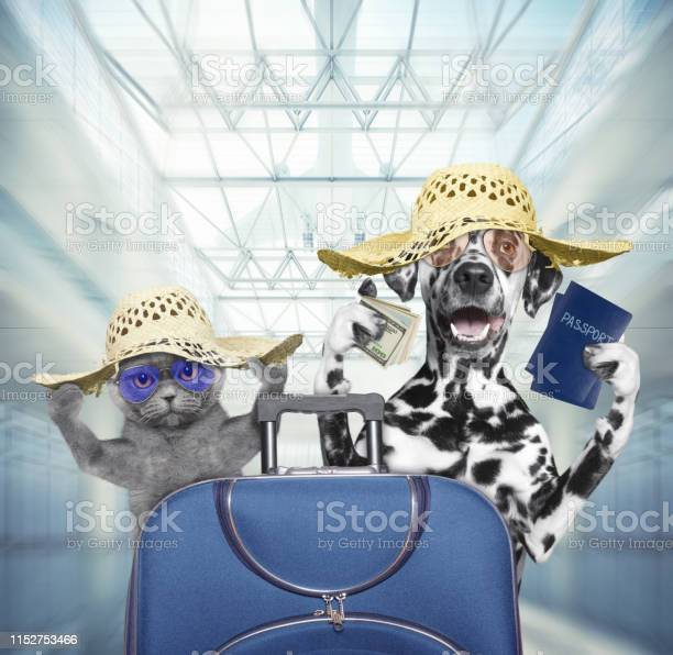 Dalmatian dog and cat wait at the airport with blue suitcase picture id1152753466?b=1&k=6&m=1152753466&s=612x612&h=x6qj2dmcwkng9590inlw0scgnlgfpizsv9peg8hruvu=