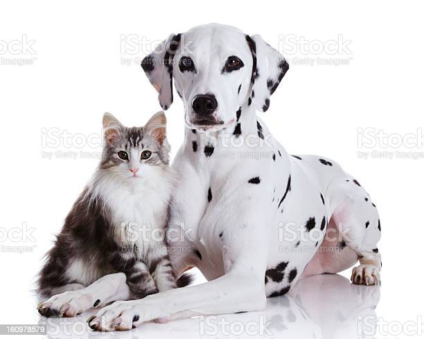 Dalmatian dog and norwegian forest cat picture id160978579?b=1&k=6&m=160978579&s=612x612&h=k8zeic4tj2kyrwy k8jkapoknsn7md9xsa97rj0dh8o=