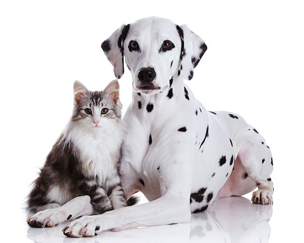 Dalmatian dog and norwegian forest cat picture id160978579?b=1&k=6&m=160978579&s=612x612&w=0&h=7omc6c4xaehu1yzuzzvtcoal7be87zdvwv3 yh n0fk=