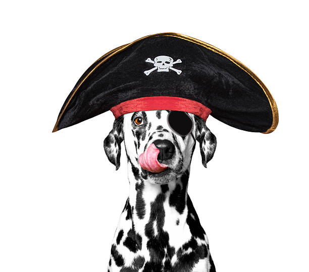 dalmatian dog in a pirate costume dalmatian dog in a pirate costume -- isolated on white pirate criminal stock pictures, royalty-free photos & images