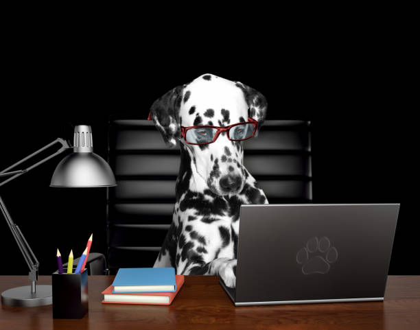 Dalmatian dog in glasses is doing some work on the computer. Isolated on black stock photo
