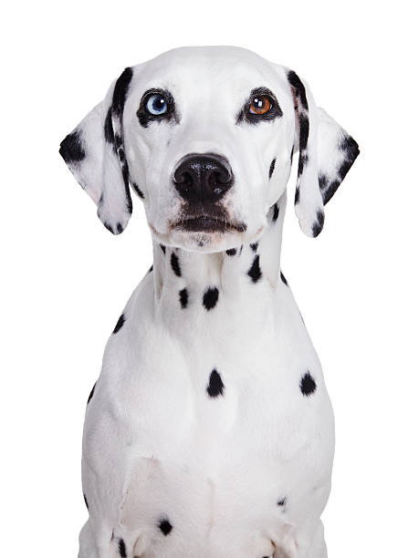 Dalmatian dog stock photo