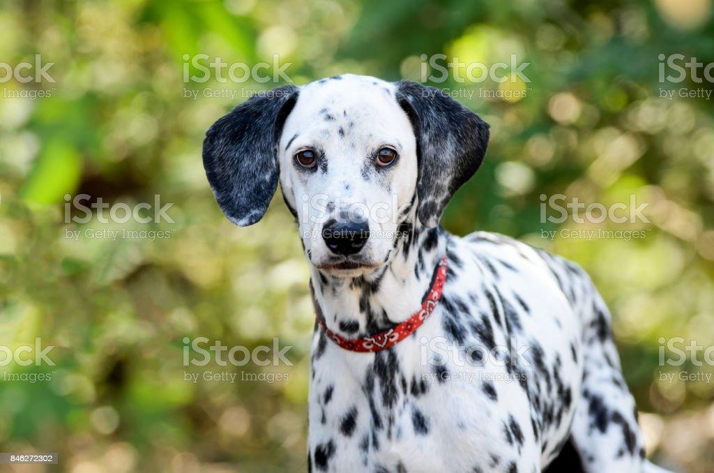 Dalmatian Dog – Foto