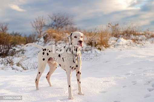Dalmatian dog posing in the snow at sunset