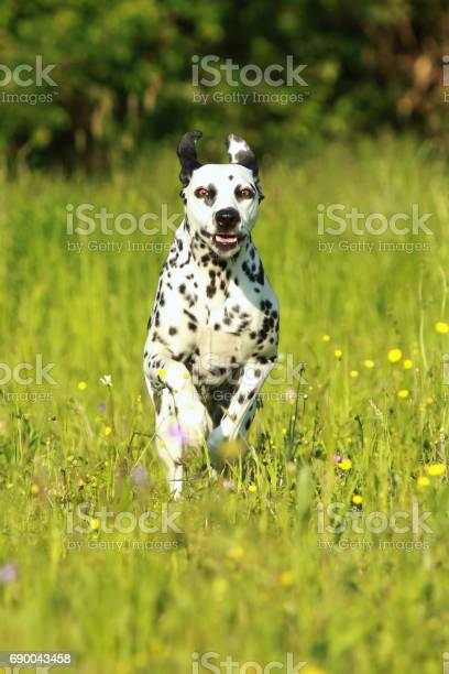 Dalmatian dog running across meadow picture id690043458?b=1&k=6&m=690043458&s=612x612&h=cjtotql4hobqjeykm5uqy2l4yowruqt3d34opiz60di=