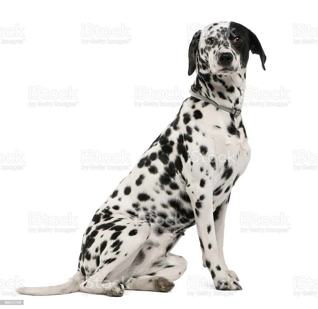 Dalmatian dog sitting in front of white background royalty-free stock photo