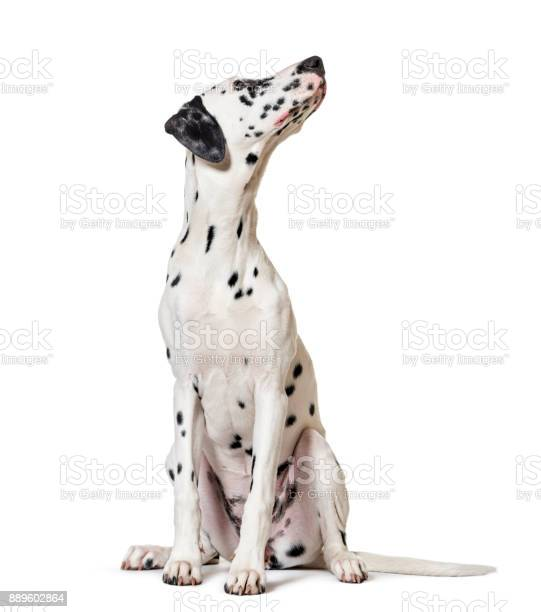 Dalmatian dog sitting looking at the camera isolated on white picture id889602864?b=1&k=6&m=889602864&s=612x612&h=zupykr521f2yibbelzsdasttktwtxkq tq5oll2ihpw=