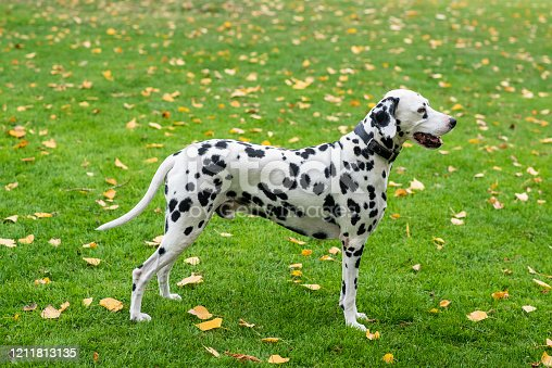 dalmatian dog posing for the camera