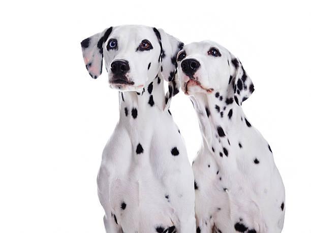 Dalmatian dogs picture id160305987?b=1&k=6&m=160305987&s=612x612&w=0&h=1l8xn4o8wrsjus1mnvsp86na36mrjexhxaady16lse4=