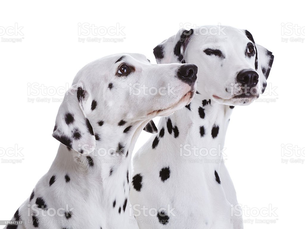 Dalmatian dogs royalty-free stock photo
