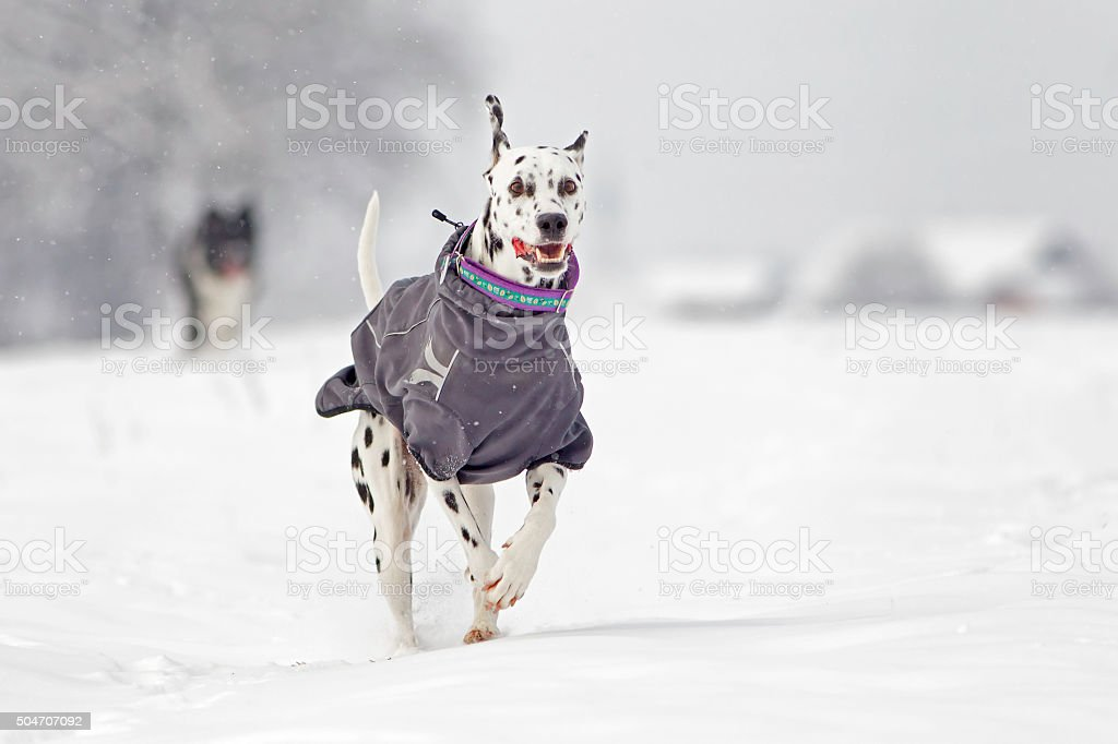 Dalmatian in snow stock photo