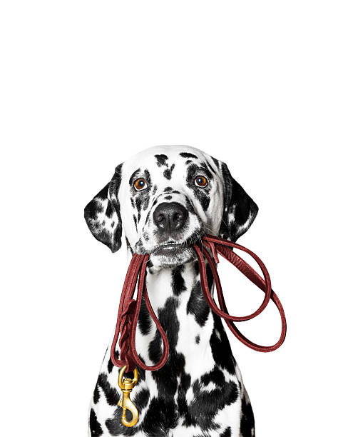 Dalmatian is holding the leash in its mouth stock photo