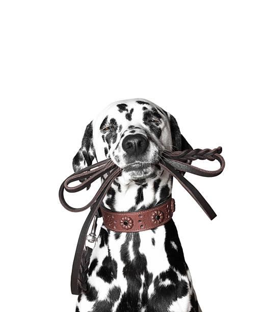 Dalmatian is holding the leash in its mouth picture id511813886?b=1&k=6&m=511813886&s=612x612&w=0&h=oecn590jgldjduz8r6ukwbpm6mwhvhonihyf8yefdqy=