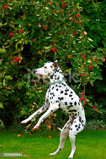 istock A Dalmatian jumping to catch a tennis ball 1035565944