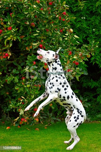 istock A Dalmatian jumping to catch a tennis ball 1035566634