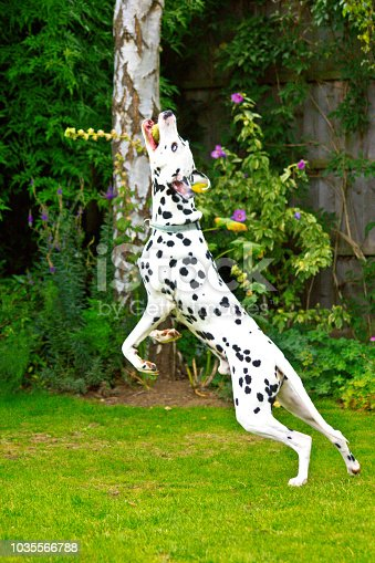 istock A Dalmatian jumping to catch a tennis ball 1035566788