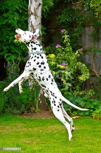 istock A Dalmatian jumping to catch a tennis ball 1035566924