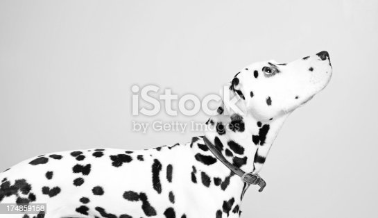 An adult pure bred Dalmatian looking up to his owner against a pale grey background.