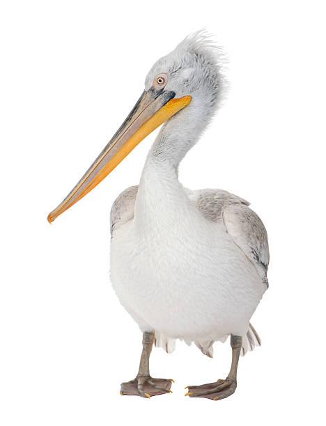 dalmatian пеликан-pelecanus crispus (18 месяцев - пеликан стоковые фото и изображения