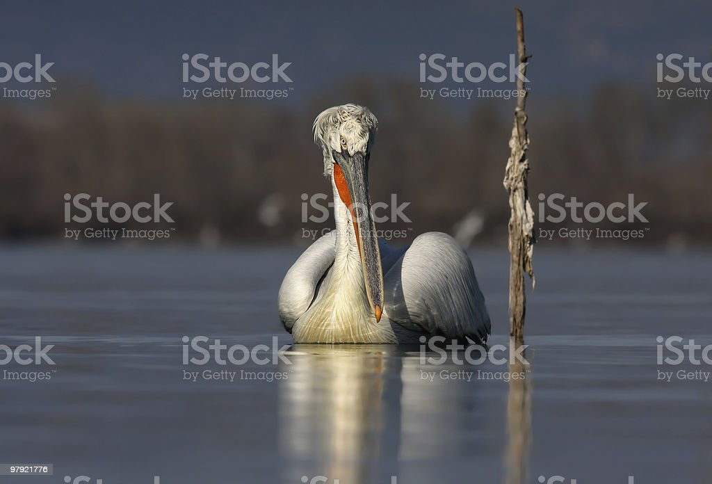 Dalmatian Pelican (Pelecanus crispus) royalty-free stock photo