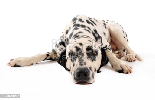 portrait of a purebred dalmatian laid down on a white background
