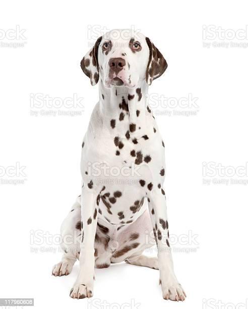 Dalmatian picture id117960608?b=1&k=6&m=117960608&s=612x612&h= by1o2hszp mhvbk 3iy vvnjekz2jug8vkiaulk4uy=
