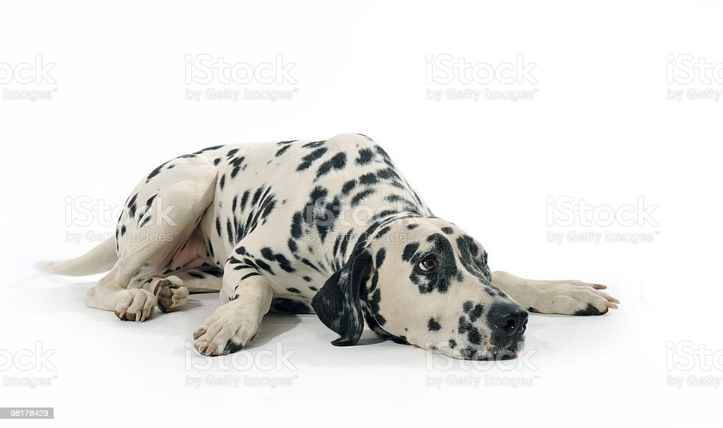 dalmatian royalty-free stock photo