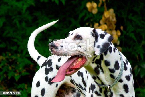 Portrait of a Dalmatian standing in a domestic English garden.
