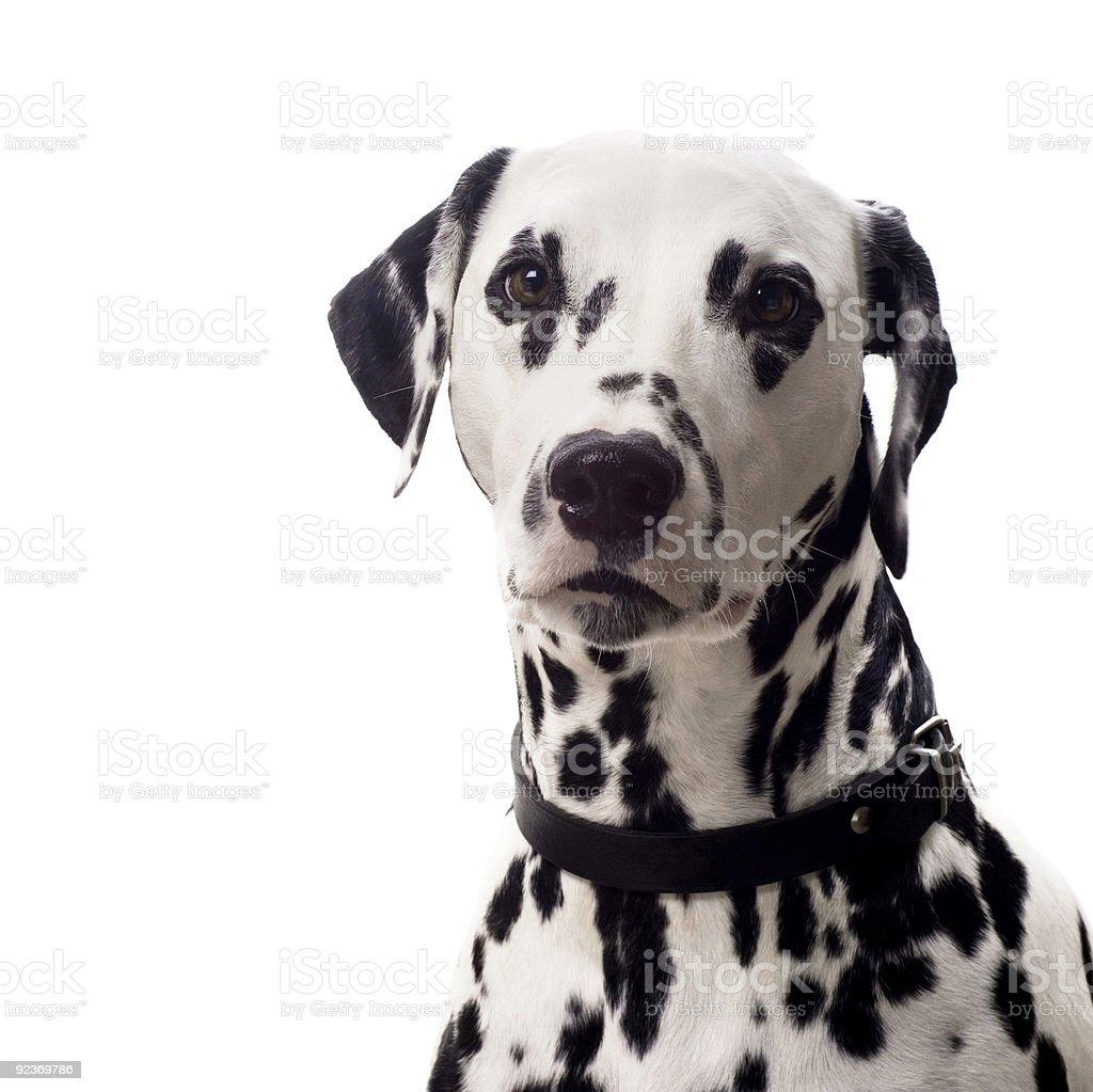 Dalmatian portrait. royalty-free stock photo