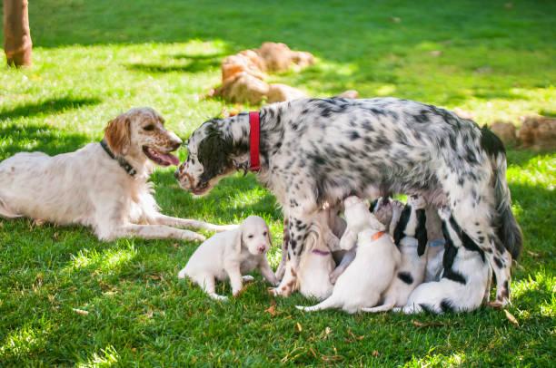 Dalmatinische Welpen füttern Mutter – Foto