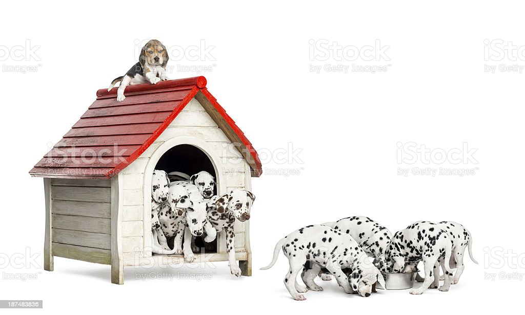 Dalmatian puppies playing and eating around a kennel stock photo