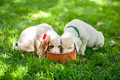 Dalmatian puppies to outdoors
