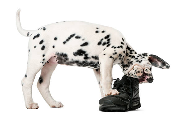 Dalmatian puppy chewing a shoe in front of a white background destructive puppy. night potty training