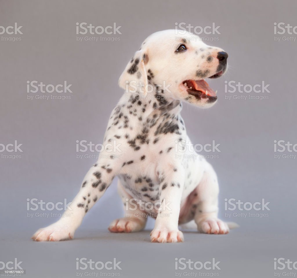 Dalmatian Puppy Dog Stock Photo Download Image Now Istock