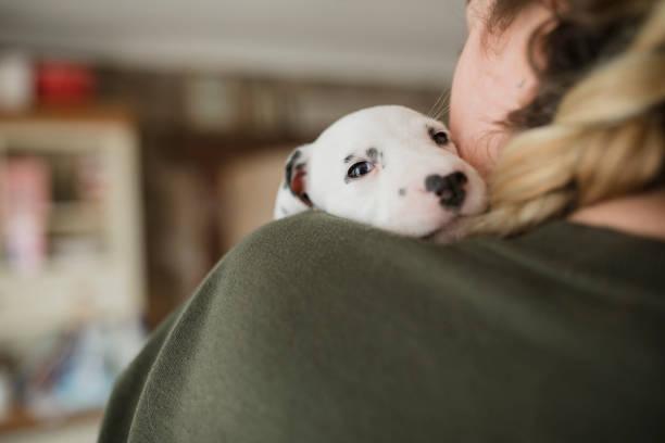 dalmatian puppy having cuddles - allevatore foto e immagini stock