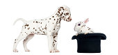 istock Dalmatian puppy looking at a spotted rabbit in topper hat 483447773