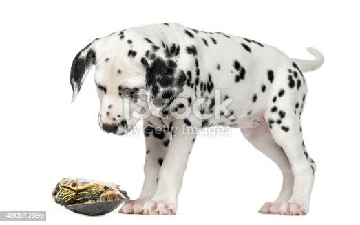 Dalmatian puppy, looking down at a turtle on its back, isolated on white
