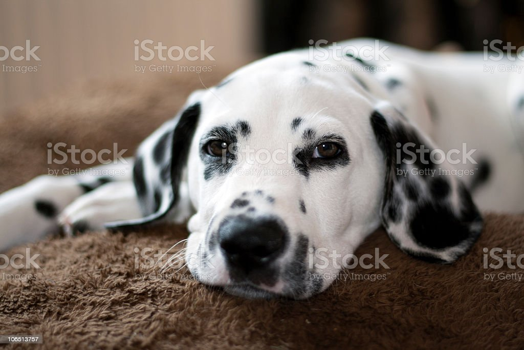 Dalmatian puppy lying down on brown carpet royalty-free stock photo