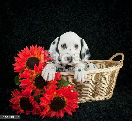 Very sweet Dalmatian puppy laying in a basket with sunflowers beside her, on a black background.