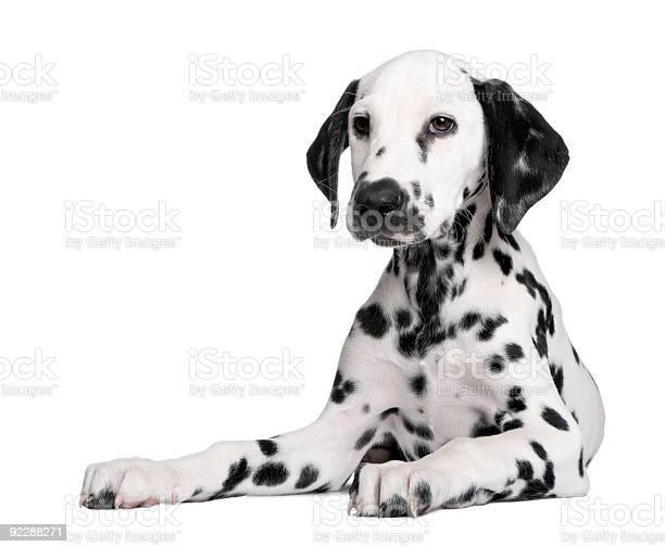 Dalmatian puppy picture id92288271?b=1&k=6&m=92288271&s=612x612&h=ecxa1o7730x83p9xrenosvz 6tyjqueisi2cvn7q mg=