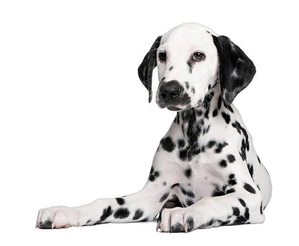 Dalmatian puppy picture id92288271?b=1&k=6&m=92288271&s=612x612&w=0&h=9xneuwfv3z8ygugqnmfvg3bhb53rwffpsnbtg ukpw0=