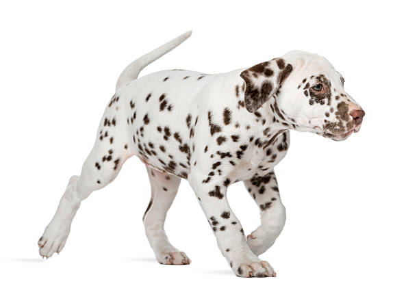 Dalmatian puppy running in front of a white background picture id509038968?b=1&k=6&m=509038968&s=612x612&w=0&h=hovewiofwyzosblhgqnpoj652jtaaq6kpopfitva43y=