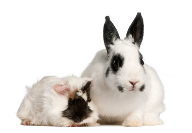 Dalmatian rabbit, 2 months old, and an Abyssinian Guinea pig, Cavia porcellus, sitting in front of white background stock photo