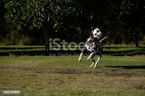 Dalmatian running in an off leash park in Brisbane, Australia
