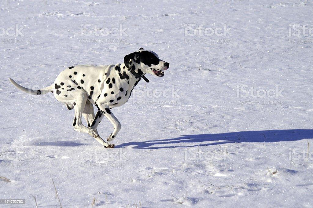 Dalmatian runs over snow meadow royalty-free stock photo