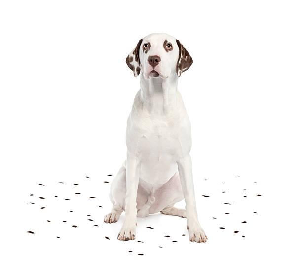Dalmatian shedding its spots picture id92271989?b=1&k=6&m=92271989&s=612x612&w=0&h=r1f3lihyaxt1hbynjvhekvgbmz mxgrts8lntb8ehdu=