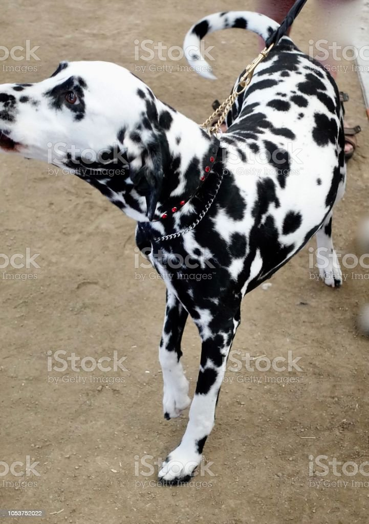 Dalmatian Station Stock Photo Download Image Now Istock