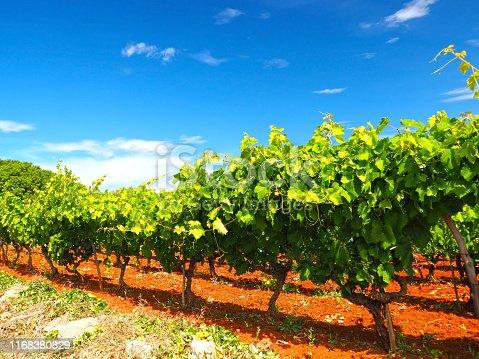 Abstract from beautiful Dalmatian vineyard, Hvar island location, Croatia.