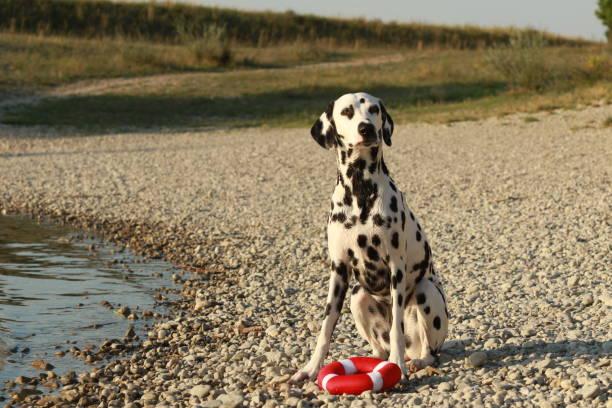 Dalmatiner mit seinem Spielzeug am Ufer eines Sees – Foto